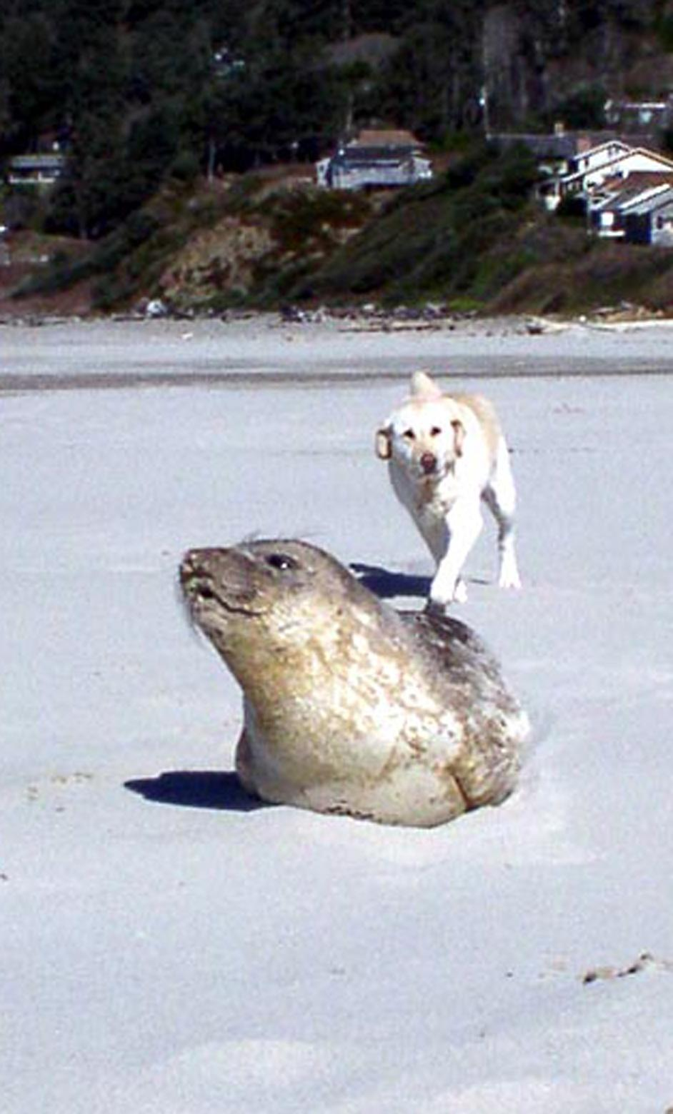 Photo of dog approaching a seal on the beach.