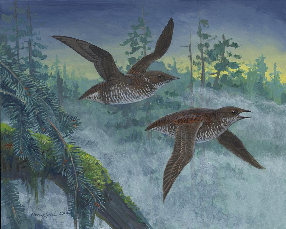 marbled murrelet painting