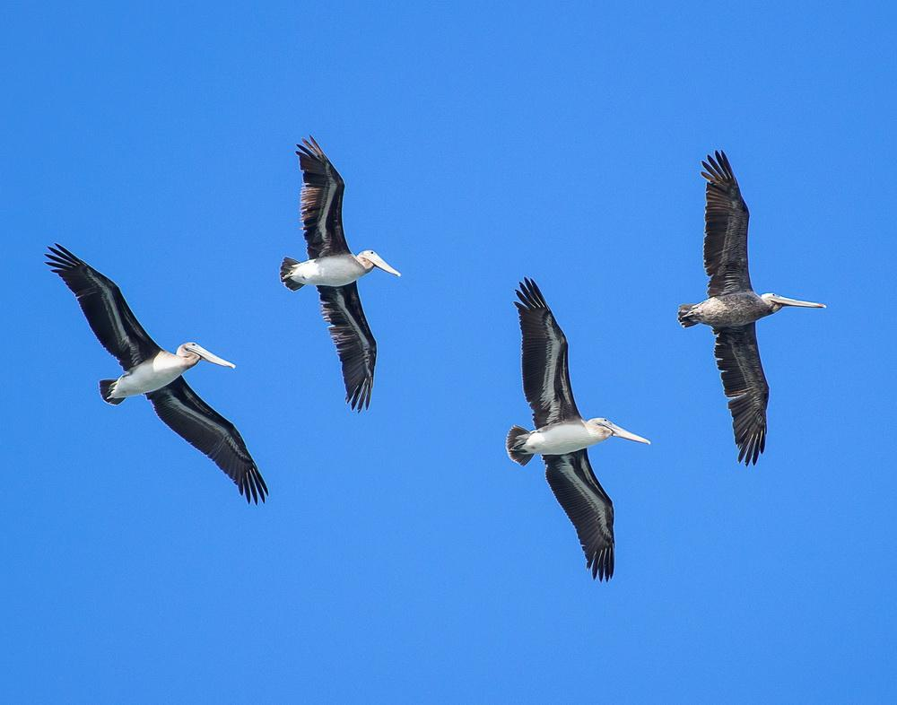 Pelicans in flight.\Photo by Heather Roskelley.