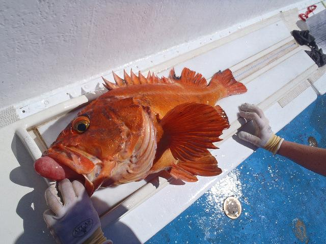 Marine reserves research: sampling rockfish.  Photo courtesy of ODFW.