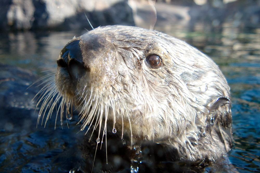A sea otter close-up.\Photo by Alex Derr.